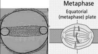 metafase1